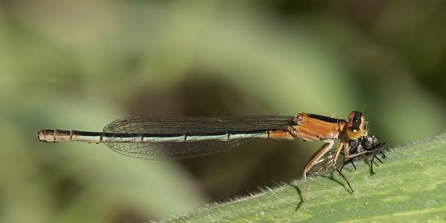 Ischnura fluviatilis 2019.10.19