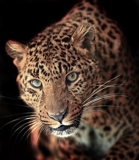 WS1912: Leopard - Photo Reference | by COLORED PENCIL magazine