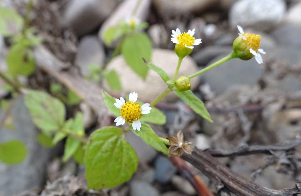 Galinsoga parviflora (1)