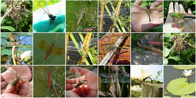 dragonflys and damselflys