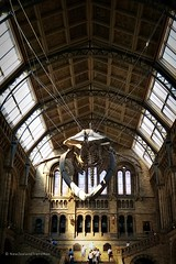 blue whale skeleton in Natural History Museum, London