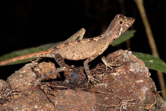 Otocryptis weigmanii (Sri Lanka Kangaroo Lizard) - Agamidae - Sinharaja Forest Reserve, Sabaragamuwa Province, Sri Lanka-5