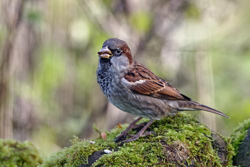 Sparrow