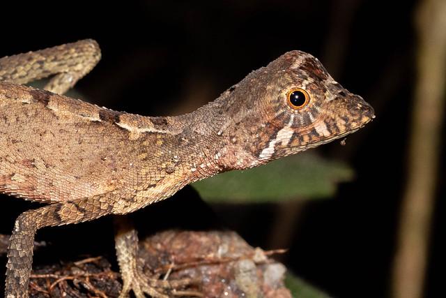 Otocryptis weigmanii (Sri Lanka Kangaroo Lizard) - Agamidae - Sinharaja Forest Reserve, Sabaragamuwa Province, Sri Lanka-5-2