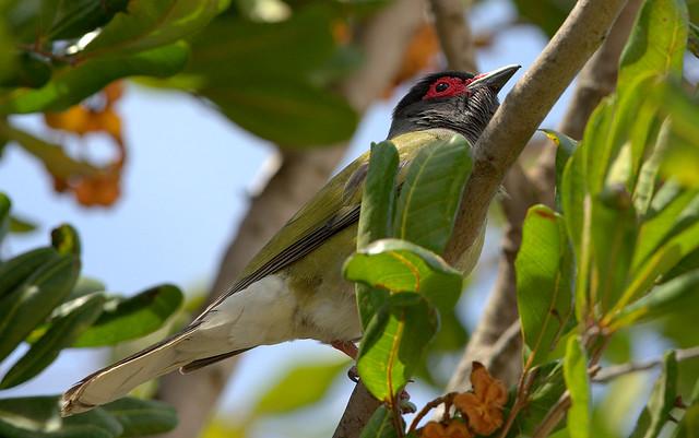 Australasian Figbird Sphecotheres Vieilloti
