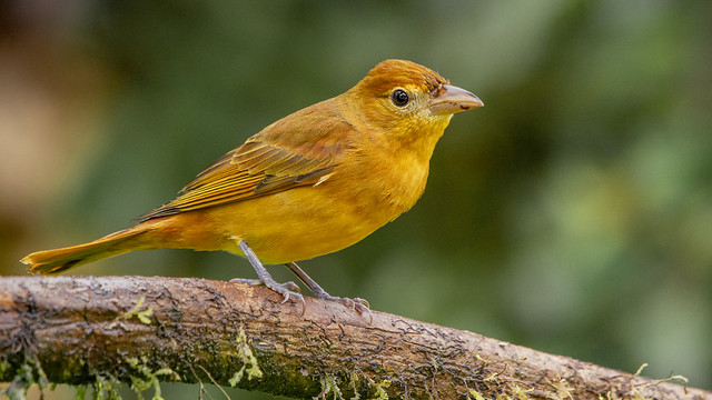 Summer tanager wintering in Colombia (juvenile male)