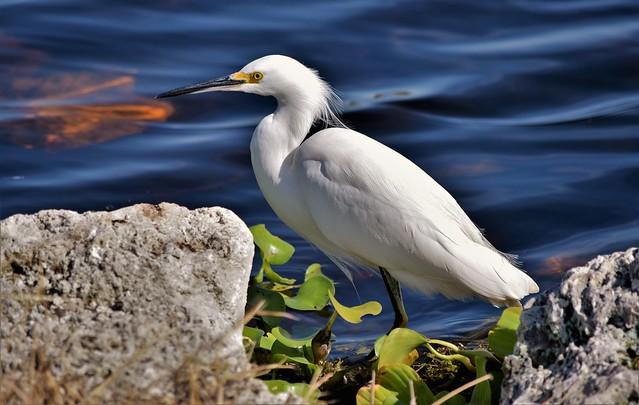 Snowy Egret, taken this morning!