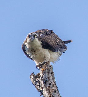 Osprey - Don't take my picture