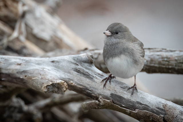 Dark-eyed Junco | Junco hyemalis | Junco ardoisé
