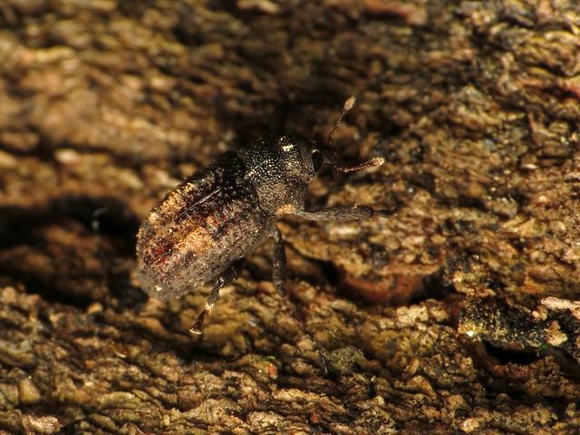 Hidden Snout Weevil