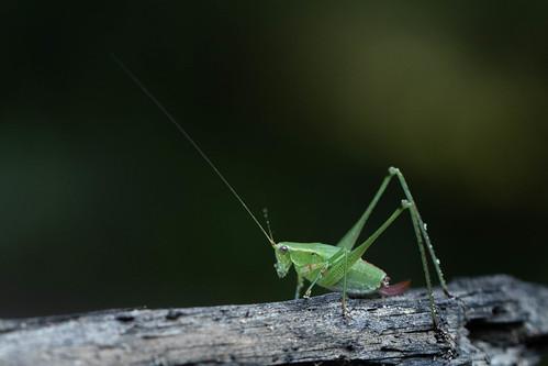 Grasshopper - one antenna broken