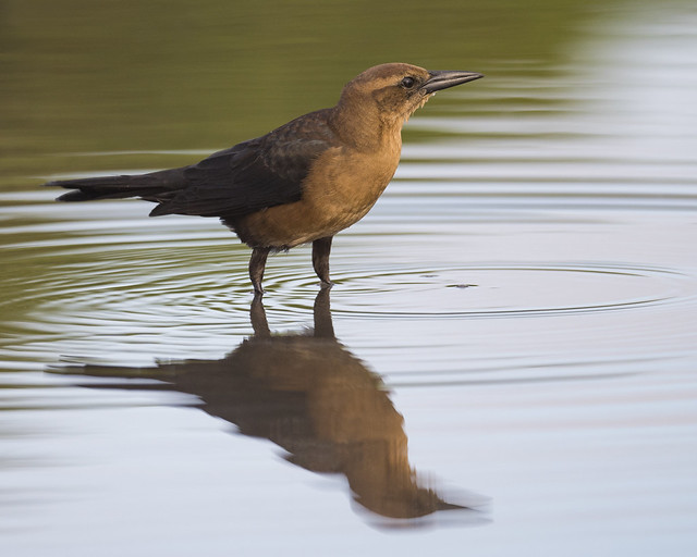 Boat-tailed Grackle, female
