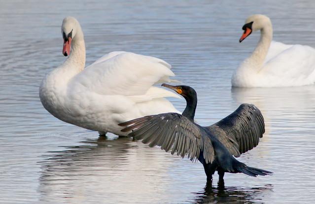 Cormorant & Swans