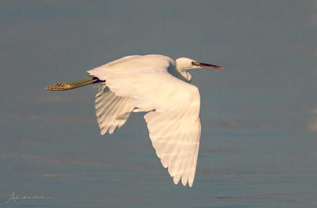 Egret just flew