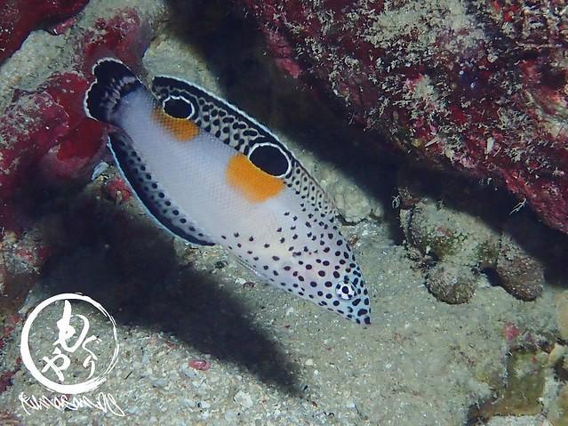 やたらと見かけたカンムリベラ幼魚。何度見てもかわいい♡
