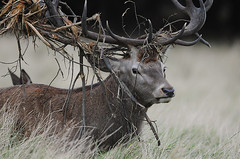 Red Stag with Antler Decor