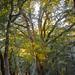 Ancient Oaks Trail