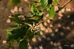 Sheuli Flowers