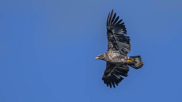 Bald Eagle 9355