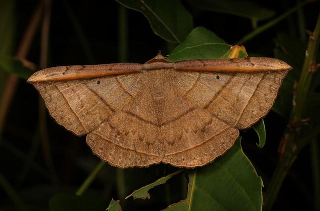 Noctuoid Moth (Entomogramma fautrix, Erebinae, Erebidae)