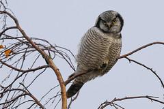Northern Hawn Owl (Høgeugle), Lynge