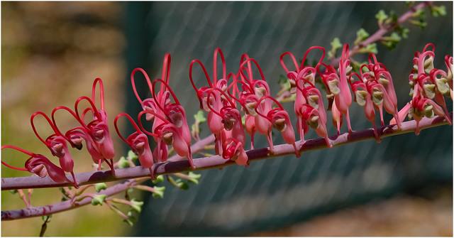 Grevillea dryandri - home garden, Darwin, Northern Territory, Australia