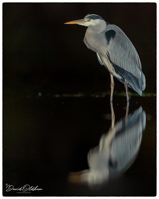 Grey heron reflection at night