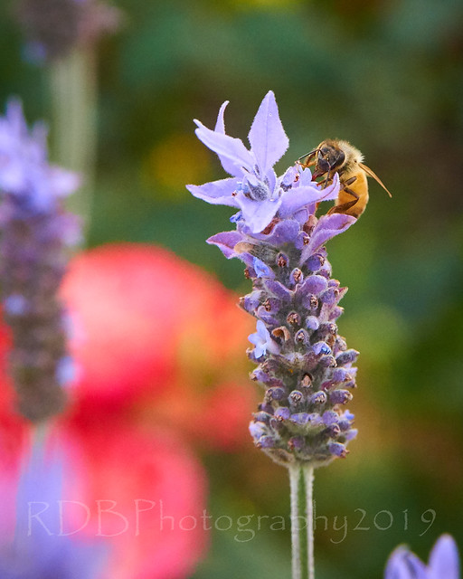 Bees in the Lavender 16