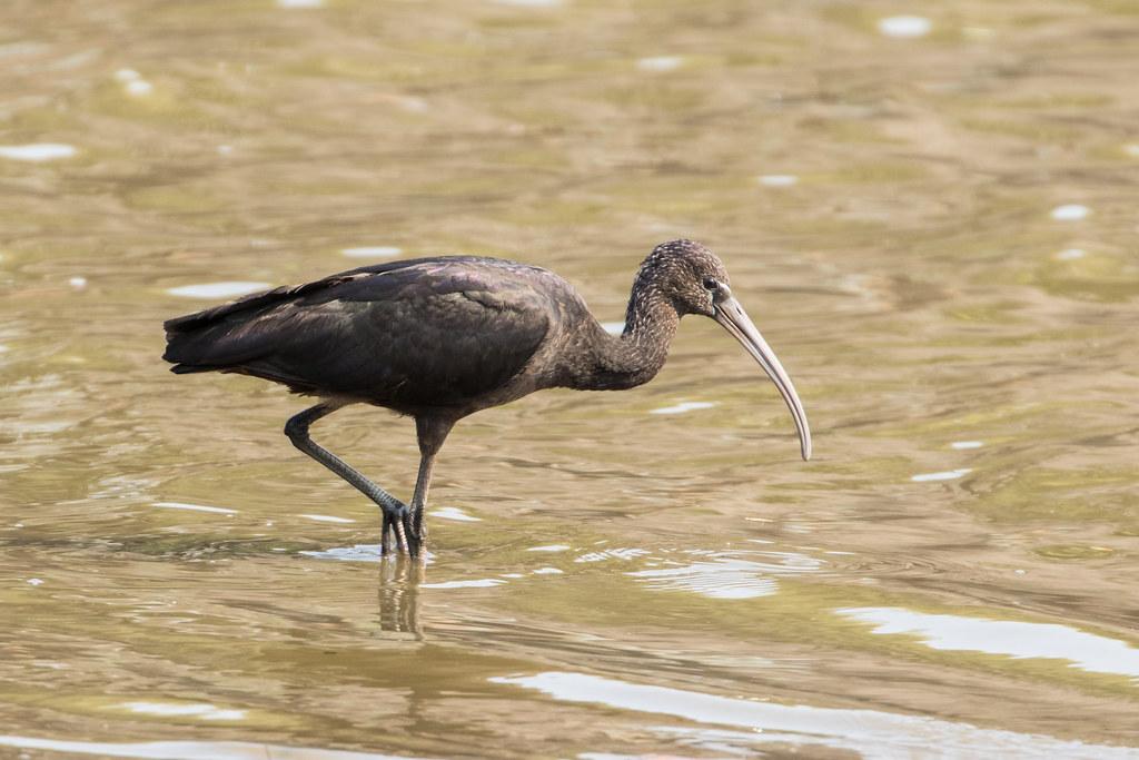 Zimbabwe, Brauner Sichler oder Glossy Ibis