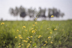 Valley of Mustard