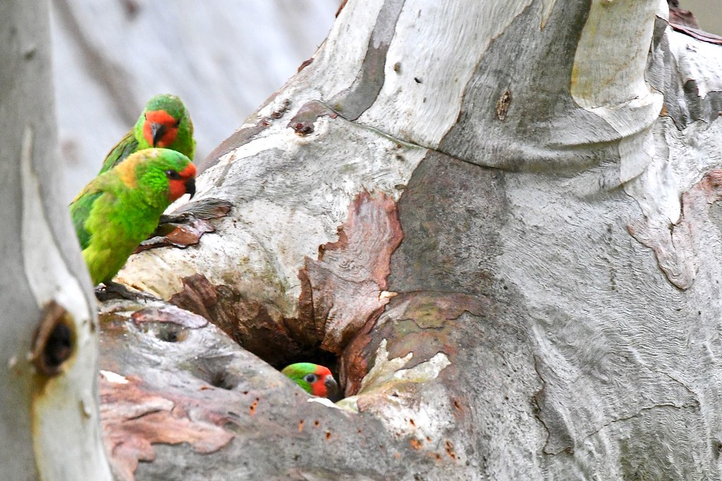 Little Lorikeets ( like it in here, its a big world )