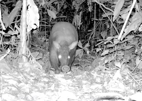 Aardvark on the prowl