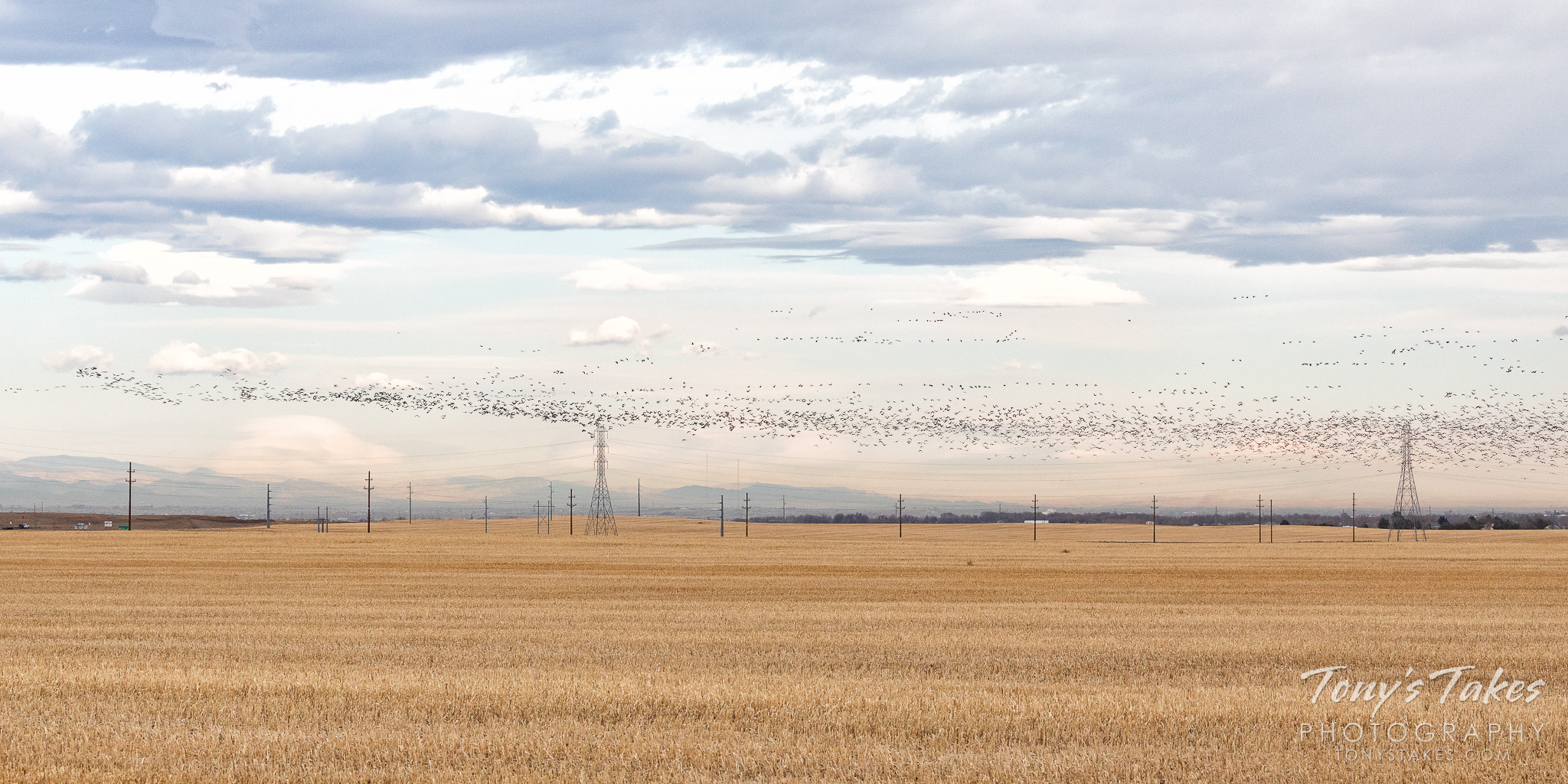 A massive flock of Canada geese flies across the Colorado Front Range. (© Tony's Takes)