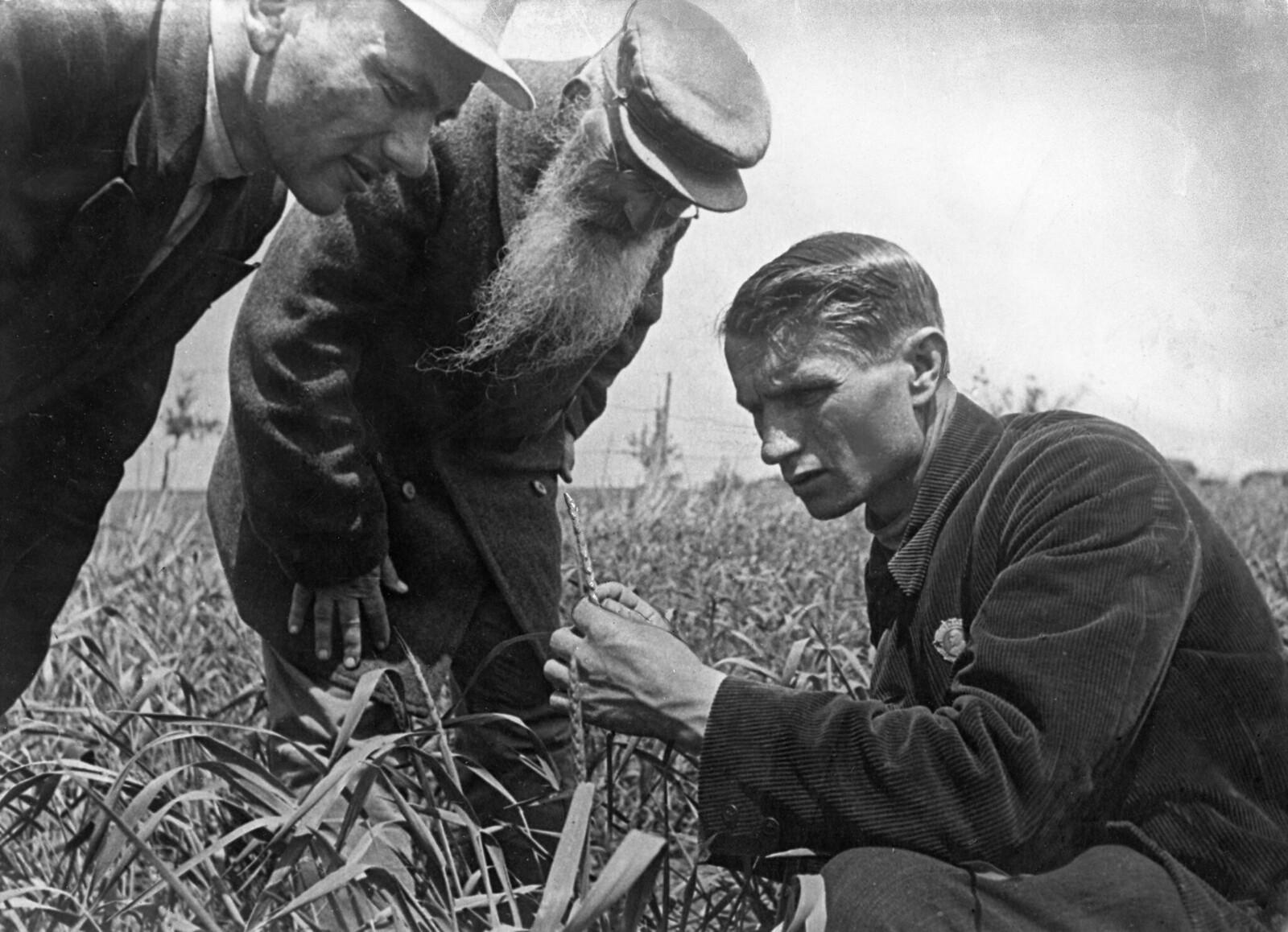1930-е. Трофим Лысенко, президент Академии сельскохозяйственных наук им. Ленина, измеряет рост пшеницы на одном из колхозных полей близ Одессы