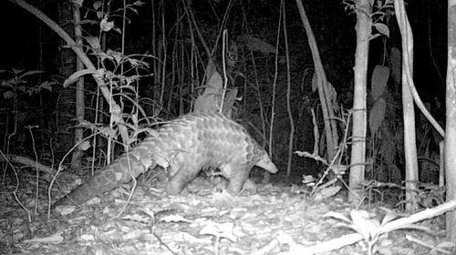 Giant Pangolin chasing ants and termites