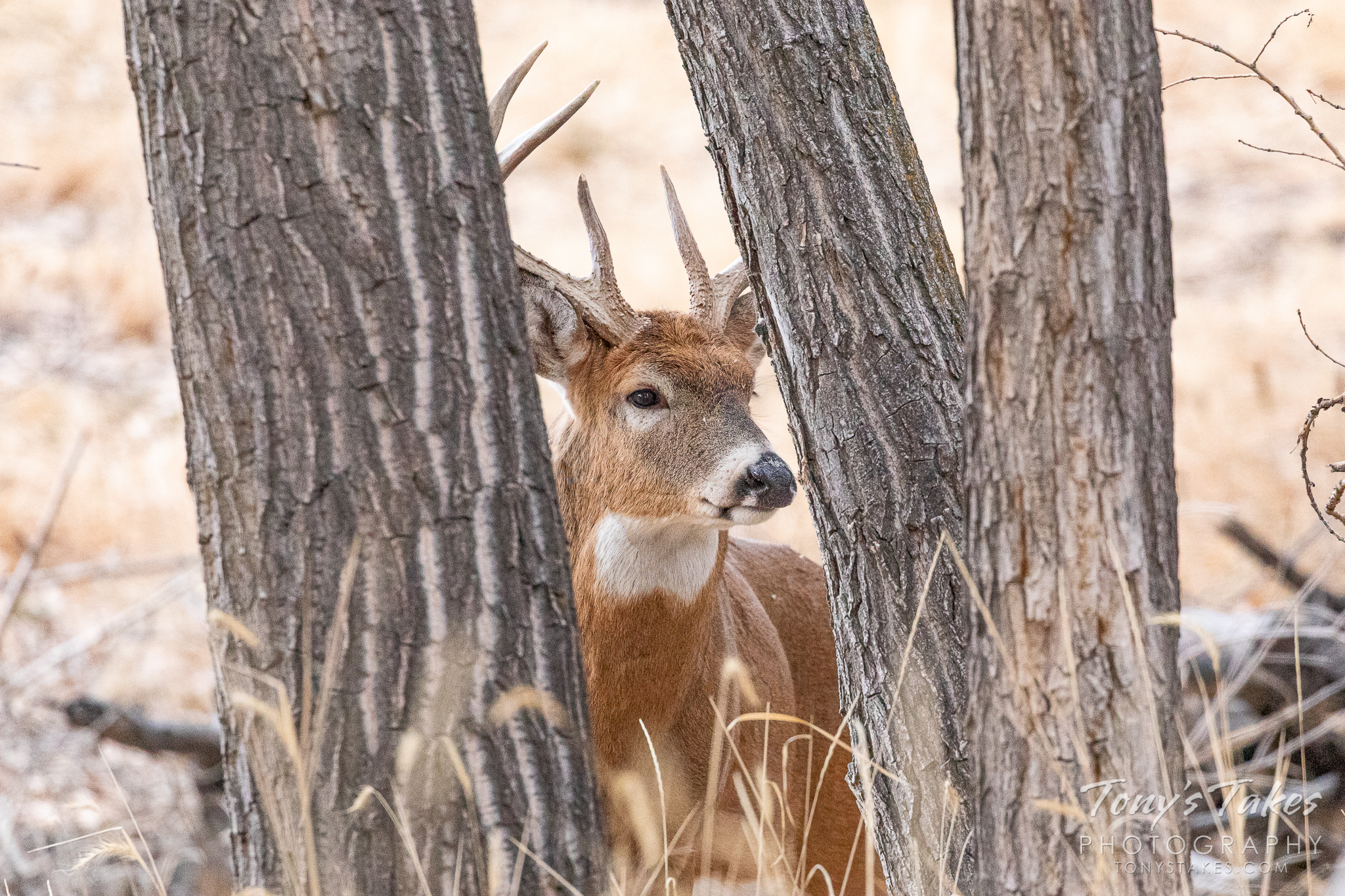 White-tailed deer buck tries trees for camouflage