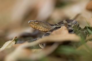 Mexican Pygmy Rattlesnake (Crotalus ravus)