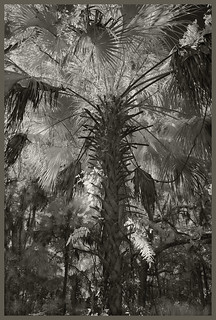 Blue Springs #24 2019; Palm in Silhouette