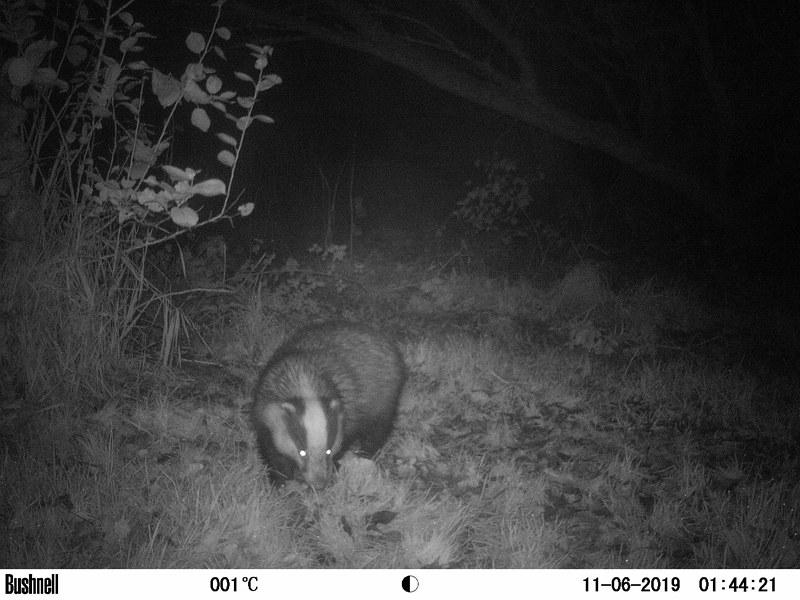 Badger 13