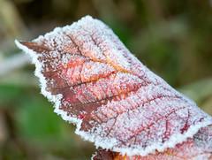 Blackberry leaf on a frosty, crispy, morning