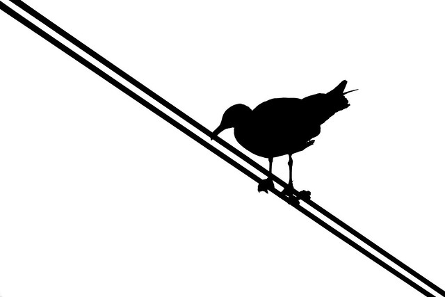 The seagull on the wires