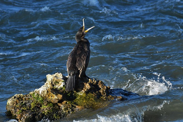 Grand cormoran - Phalacrocorax carbo - Great cormorant