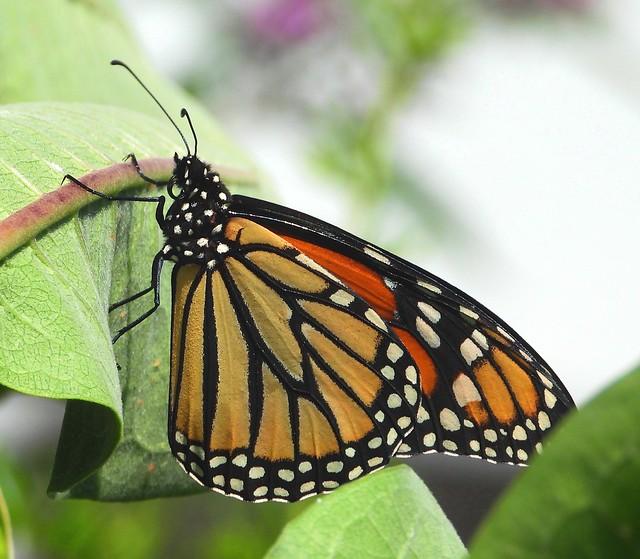 3641e3 Monarch