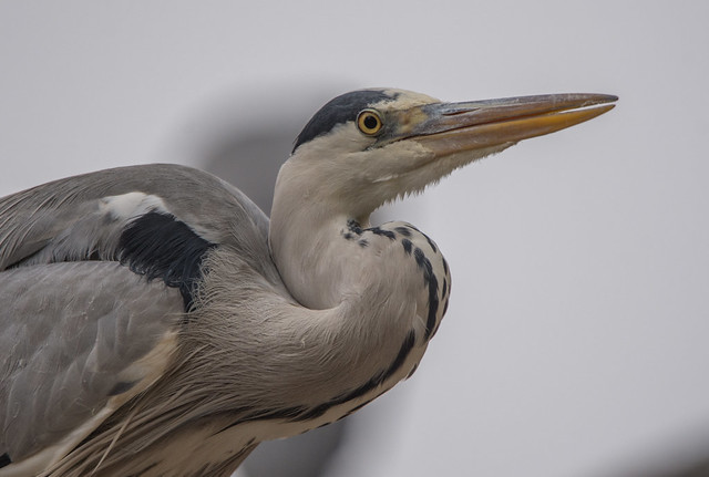 On top of tree... 😃 Grey heron (Ardea cinerea)