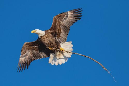 outdoor dennis adair sea sky nature wildlife 7dm2 7d ii ef100400mm ocean canon florida bird eagle raptor flight