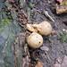 """<p><a href=""""https://www.flickr.com/people/spannarama/"""">Spannarama</a> posted a photo:</p>  <p><a href=""""https://www.flickr.com/photos/spannarama/49091391653/"""" title=""""Puffballs""""><img src=""""https://live.staticflickr.com/65535/49091391653_72b71112b1_m.jpg"""" width=""""240"""" height=""""160"""" alt=""""Puffballs"""" /></a></p>"""
