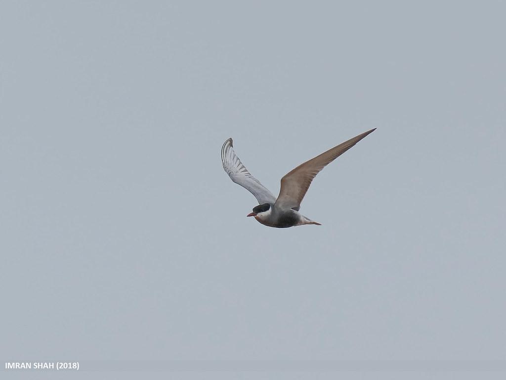 Whiskered Tern (Chlidonias hybrida)