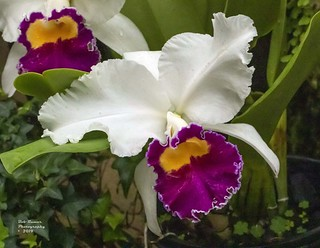 Orchid White-Purple-Yellow.