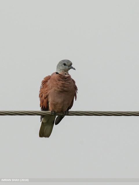 Red Collared Dove (Streptopelia tranquebarica)