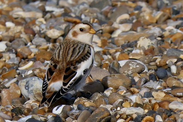 Male Snow Bunting